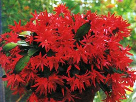 Ботаническое описание: небольшой эпифитный кустовидный кактус, по внешнему виду сходный с зигокактусом.