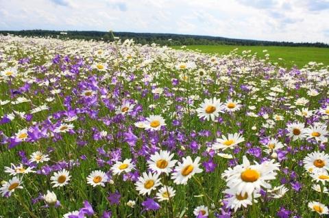 картинки поляна с цветами: