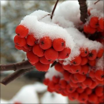 Снег и рябина