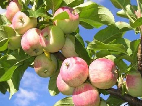 Розовые яблоки - Ольга Сергеевна Теплоухова