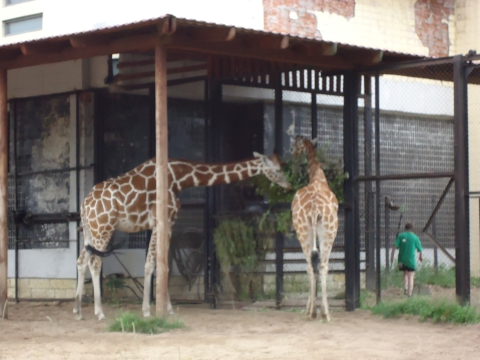 Петербургские жирафы - Инна Владиленовна Панченко