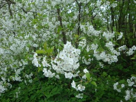 Вишня в цвету - Любовь Николаевна Юдина