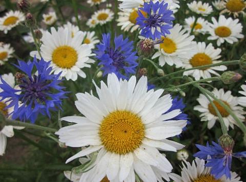 Ромашки, ромашки, ромашки - цветы, хожу и гадаю, любишь ли ты...