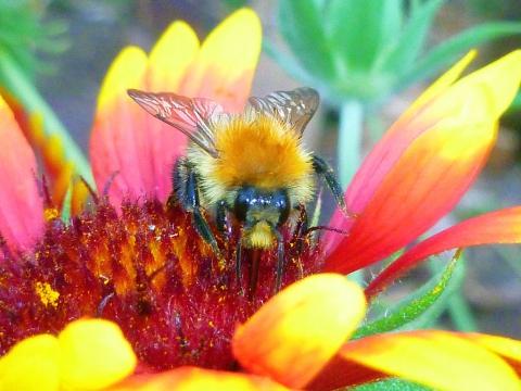 Пчела на красно-желтом цветке - Александр Владимирович Серолапкин