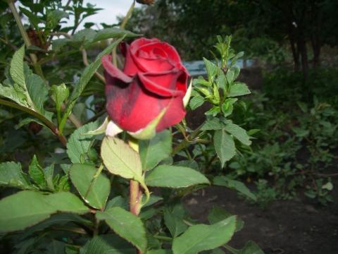 Красная розочка
