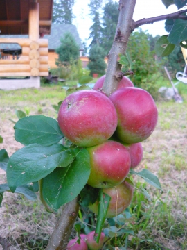 Яблочки - Александра Николаевна Литвинова