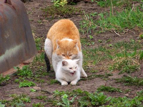 Свадьба рыжего кота с белой кошкою - Александр Владимирович Серолапкин