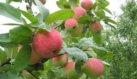 Августовские яблоки. - Людмила Александровна Ойкина