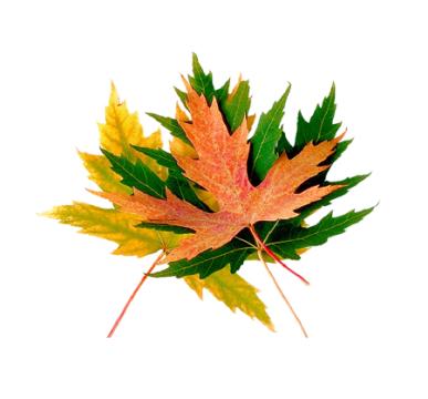 кленовые листочки