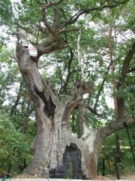 Дуб Грюневальда  Национальное дерево Украины - Татьяна Владимировна Диденко