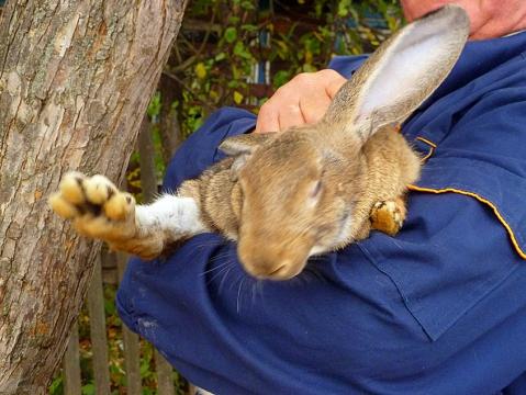 Раскоряченный кролик