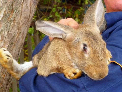 Большой кролик на руках