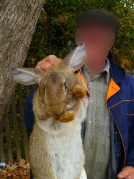 Очень большой кролик взят за шкирку
