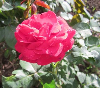 Роза из сада