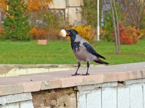 Ворона с куском 1