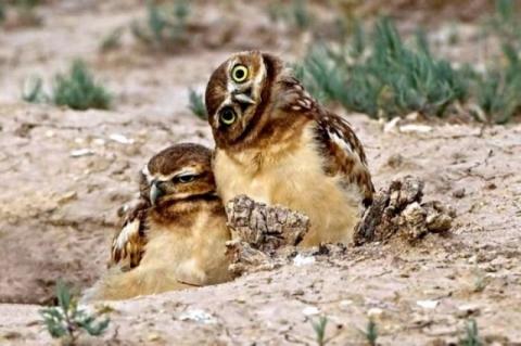 Две совы, одна с повёрнутой головой