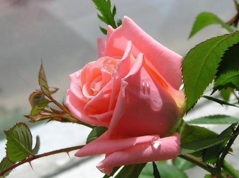Роза-розочка!