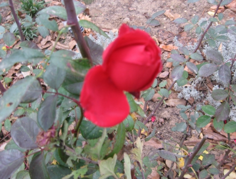 роза 01.12.12