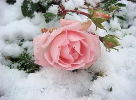заснеженная роза