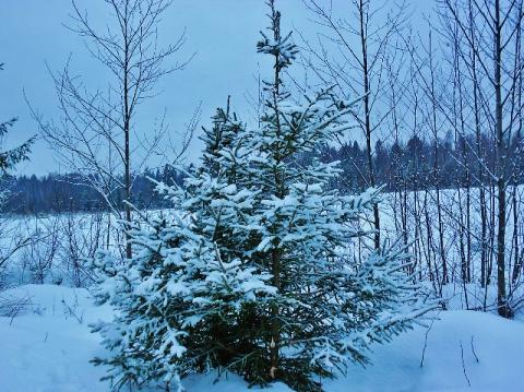 Маленькой елочке тепло в снежной шубке