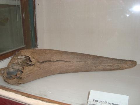 Роговой отросток шерстистого носорога - лучший школьный музей
