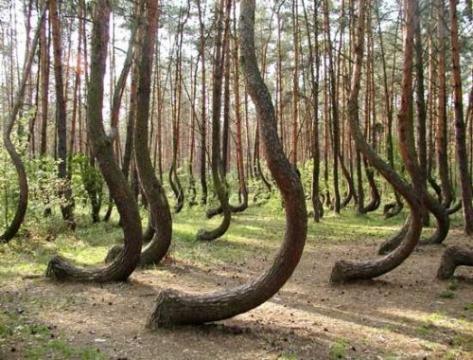Кривой лес города Грыфино  - Юлия Викторовна Синягина