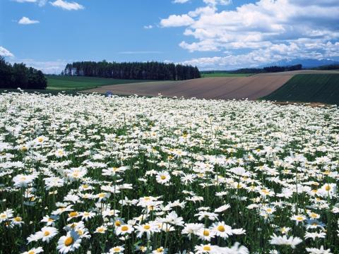 И ромашковые поля
