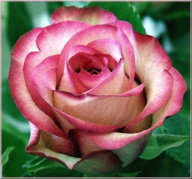 роза нежная...