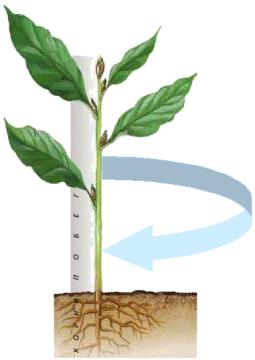 """Фото 1 из презентации  """"Строение стебля """" к урокам биологии на тему  """"Строение растений """".  900igr.net."""
